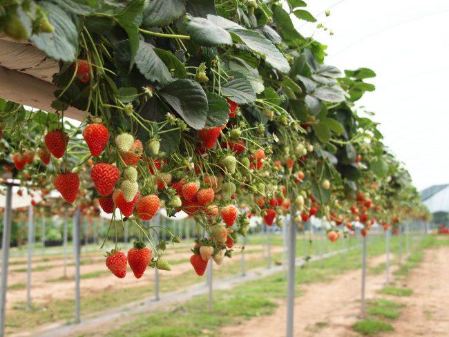 dalat strawberry gardens